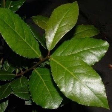 L'alloro: usi e diffusione in natura.
