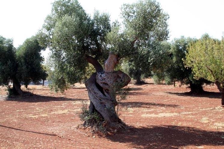 Le origini dell'ulivo
