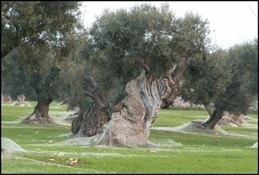 Le varietà di ulivo