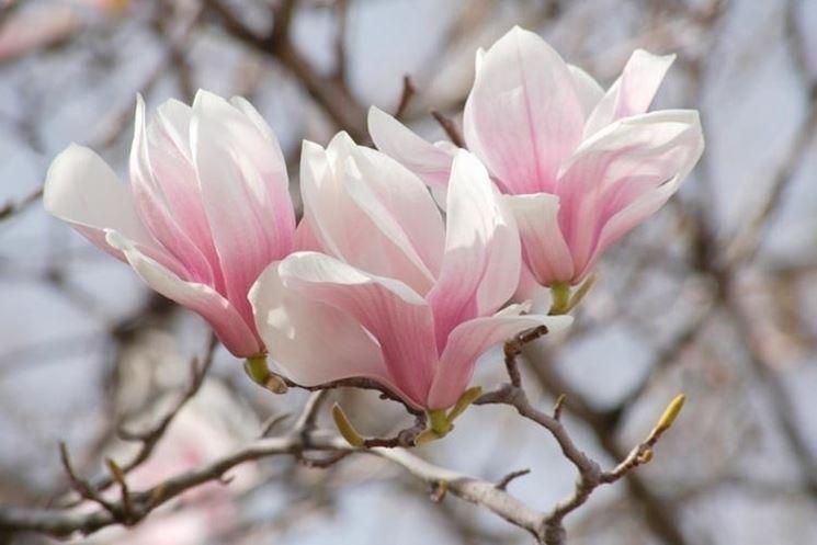 Le varietà differenti di magnolia
