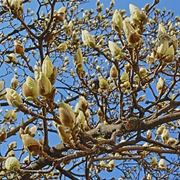 Magnolia heptapeta, Syn. Magnolia denudata
