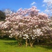 Moltiplicazione della Magnolia