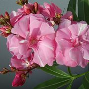 Oleandro rosa fiore doppio