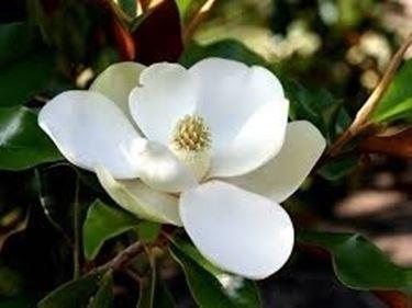Origini della magnolia stellata