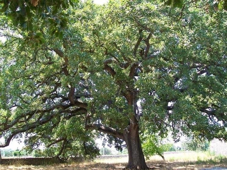 La quercia albero dei bambini alberi la quercia l - Piccoli alberi da giardino ...