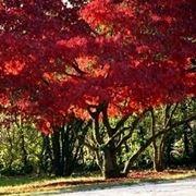 Risposta : acero rosso (albero) ammalato