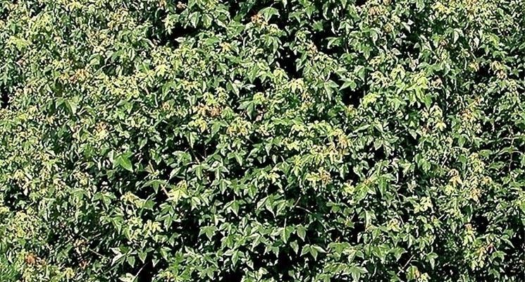 Risposta: i bonsai di acero