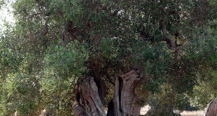 Risposta: la potatura dell'ulivo