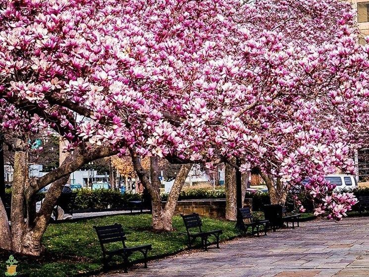 Risposta : Magnolia