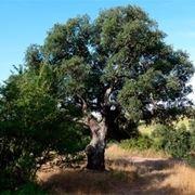 Risposta : quercia:foglie grandi