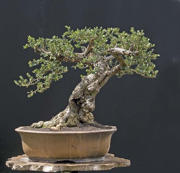 Risposta : ulivo bonsai