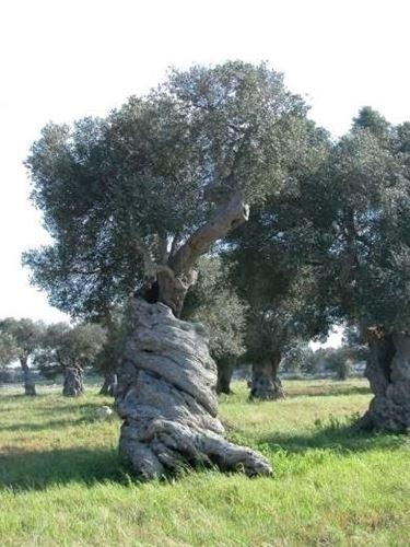 Risposta : ulivo con foglie macchiate
