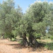 Terreno e concime per l'ulivo