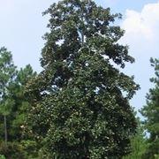 varietà alberi di natale-1