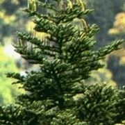 varietà alberi di natale-6