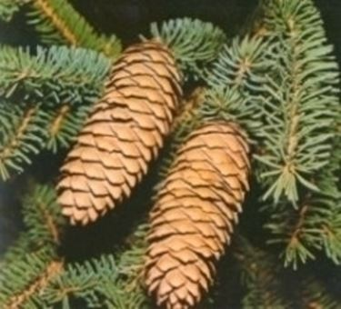 varietà alberi di natale-7
