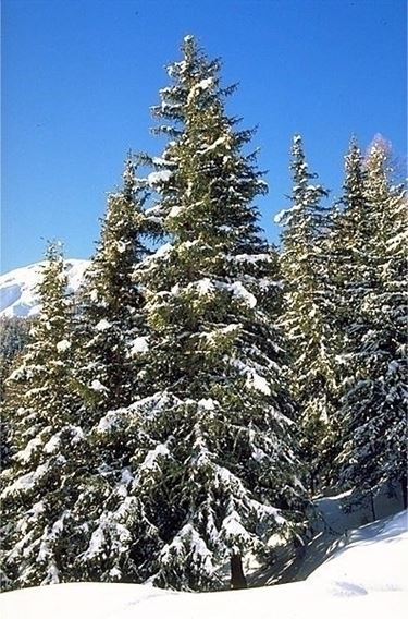 varietà alberi di natale