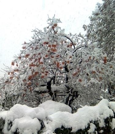 varieta' di alberi di natale-1