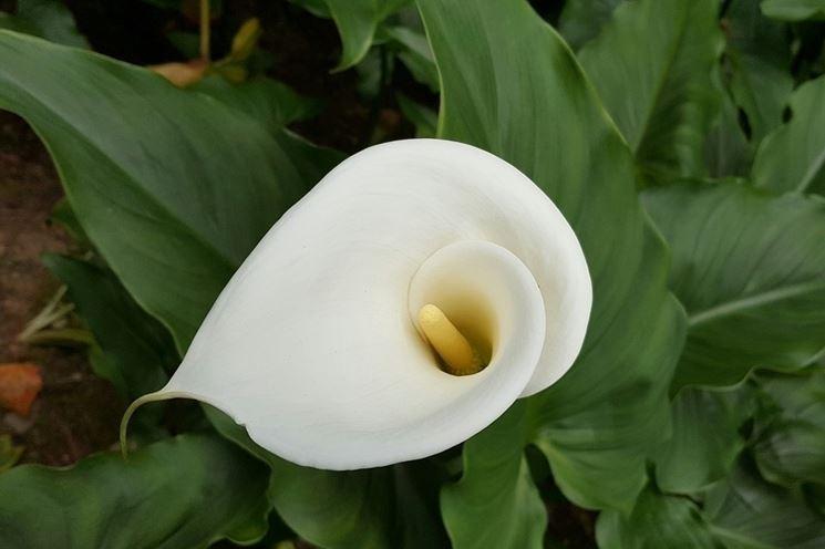 Il fiore della calla fiori piante la calla for Calla pianta