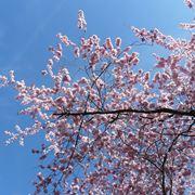 Ciliegio fiori