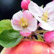 fiore mela melo
