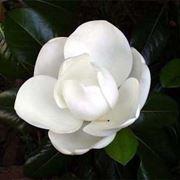 Risposta : magnolia e abete