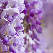 Glicine fiori piante glicine for Glicine bonsai prezzo