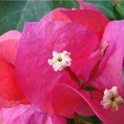 fiore bouganvillea