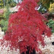 Acer pseudoplatanus (acero montano)
