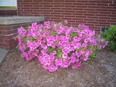 Azalea cura e manutenzione giardino azalea cura e for Cura azalea