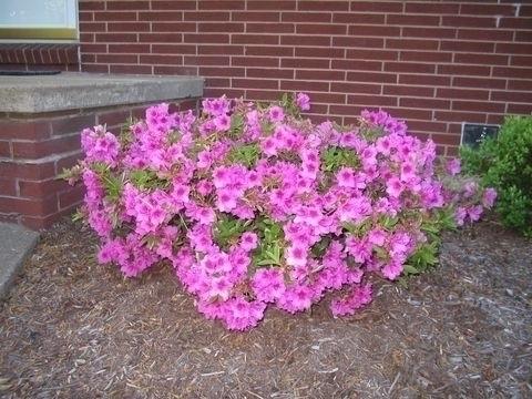 Azalea cura e manutenzione giardino azalea cura e for Glicine bonsai prezzo