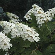 Caratteristiche più importanti dei fiori di Ortensia