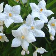 Coltivare il solanum jasminoides