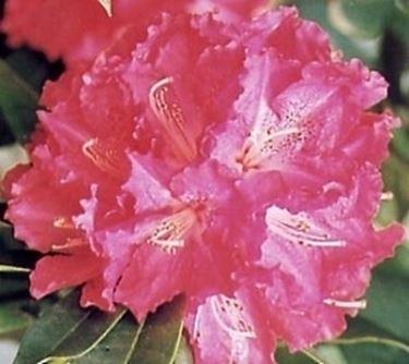 Coltivazione e cura del Rododendro
