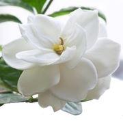 Come coltivare e prendersi cura della Gardenia