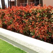 Come coltivare la Photinia Red Robin