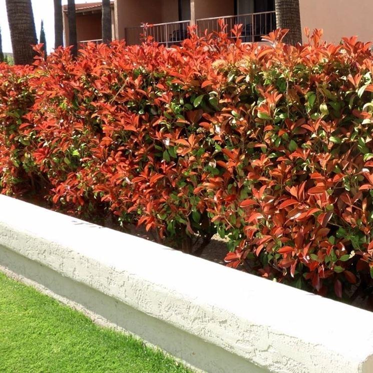 Come coltivare la Photinia Red Robin