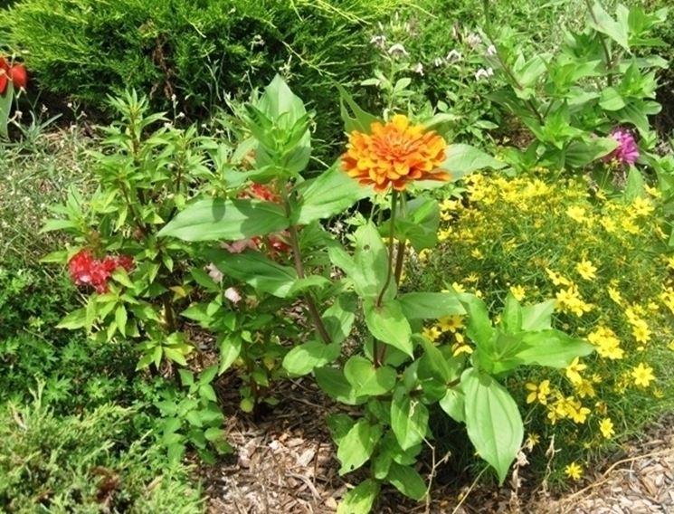 Come coltivare la dalia giardino dalia 10 - Dalia pianta ...
