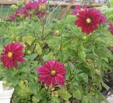 Semi di dalia giardino dalia 13 - Dalia pianta ...