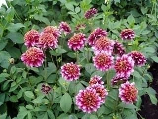 Significato della dalia giardino dalia 15 - Dalia pianta ...
