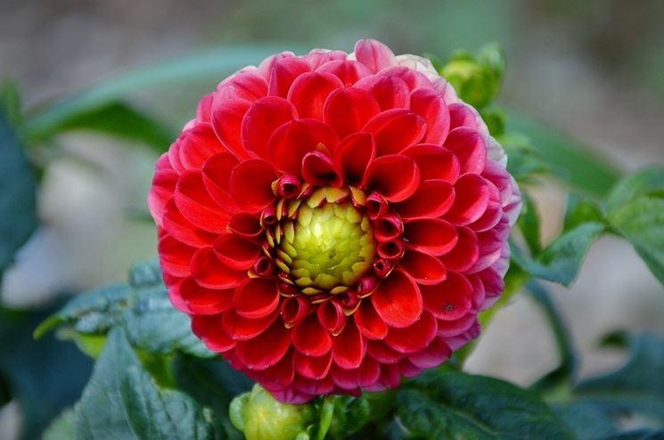 Dalia segreti di coltivazione giardino dalia 9 - Dalia pianta ...