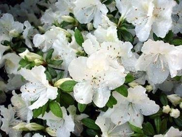Consigli per la coltivazione dell'azalea