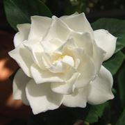 Domanda: Ingiallimento apicale della gardenia