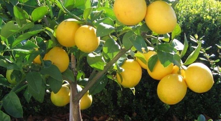 Domanda: innesto limone