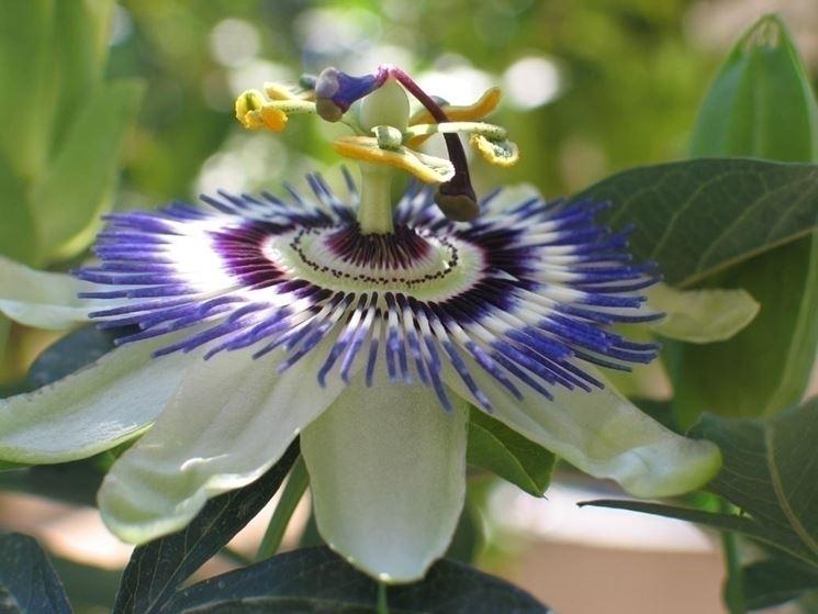 L'origine della passiflora