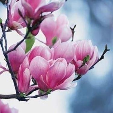 Domanda : magnolia e abete