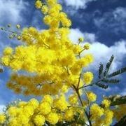 Domanda : mimosa
