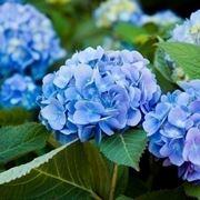 Domanda: ortensia con fiori appassiti