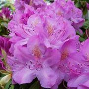 Domanda: perché il mio rododendro non fiorisce?