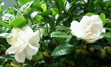 Gardenia-19